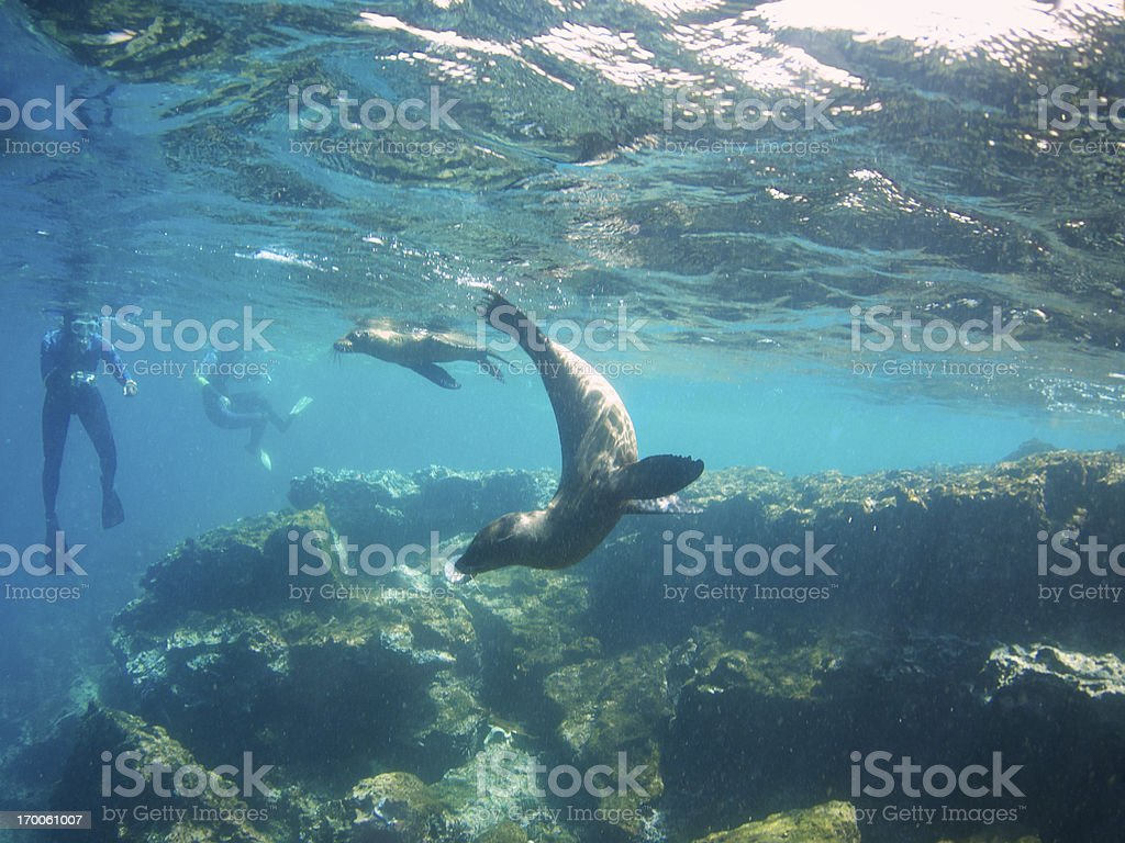 Sea Lions Play with Snorkelers Galapagos Island Tour stock photo