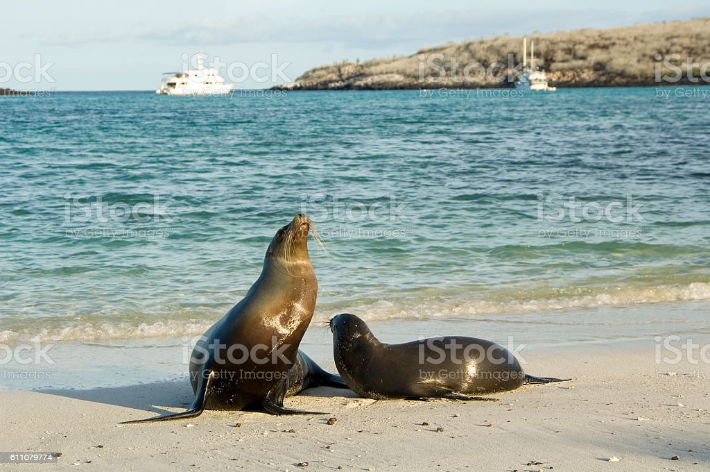 Sea lions relaxing on beach, Galapagos stock photo