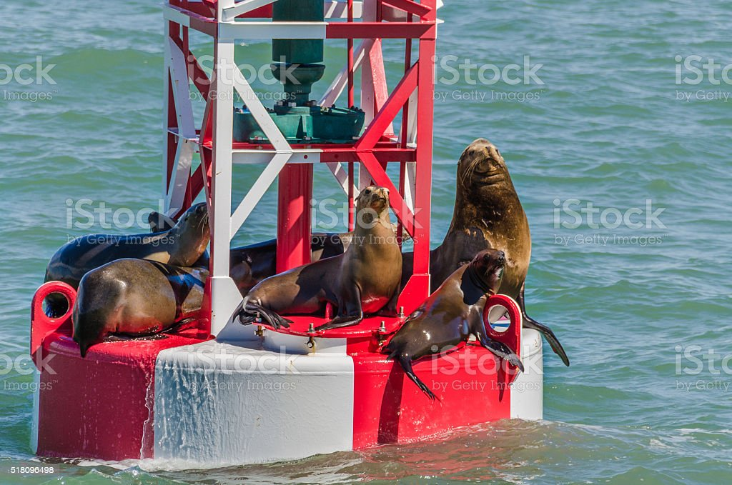 Sea lions resting on a red and white buoy stock photo