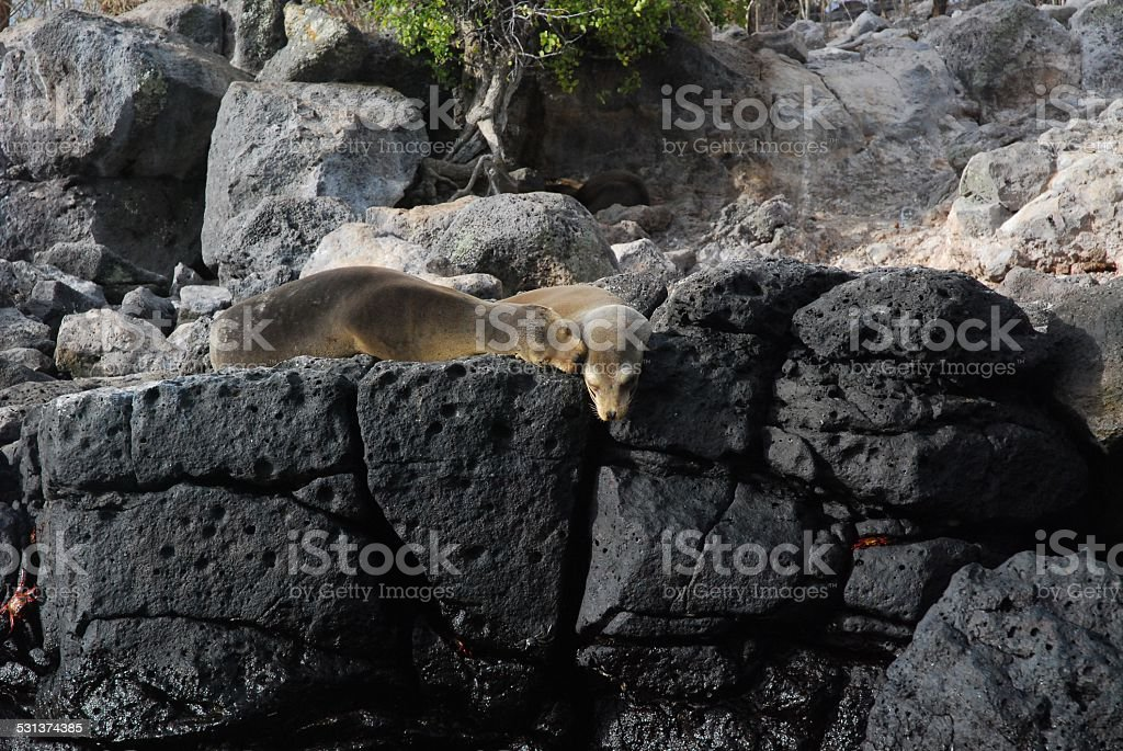 Sea Lions Resting on Volcanic Rock royalty-free stock photo