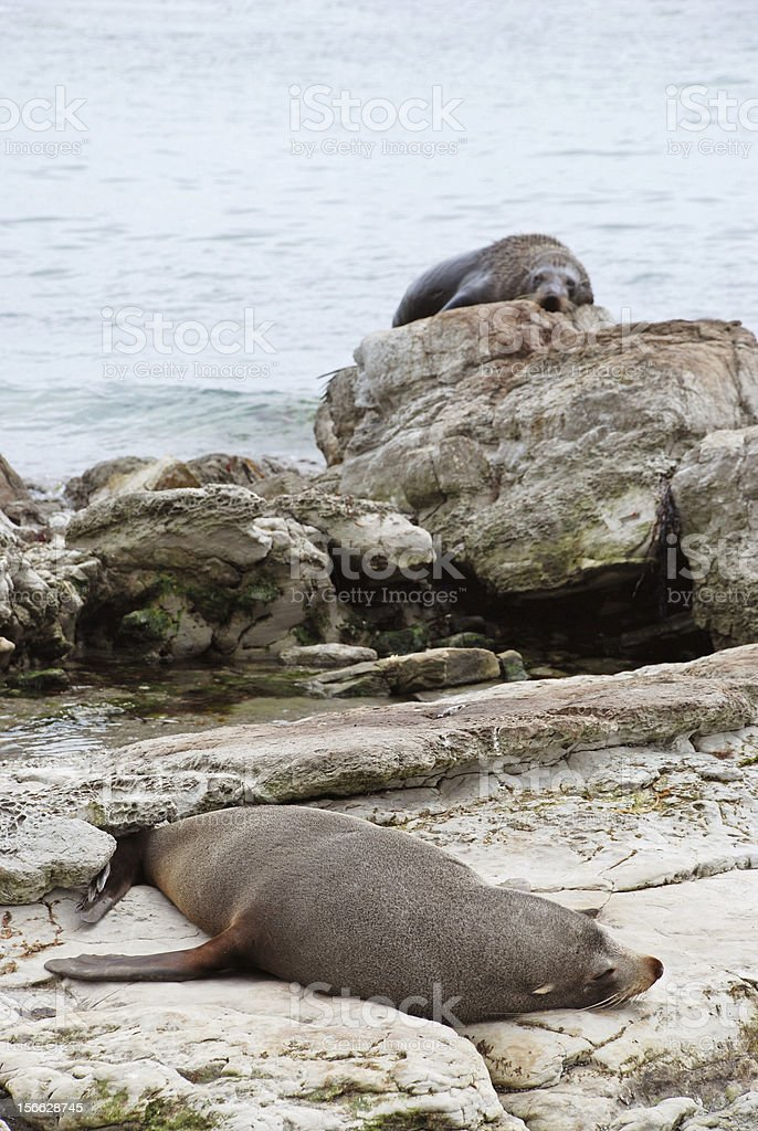 Sea lions resting royalty-free stock photo