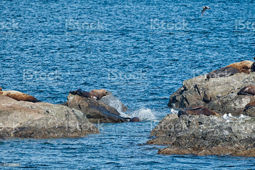 Sea Lions Seal on the rocks stock photo