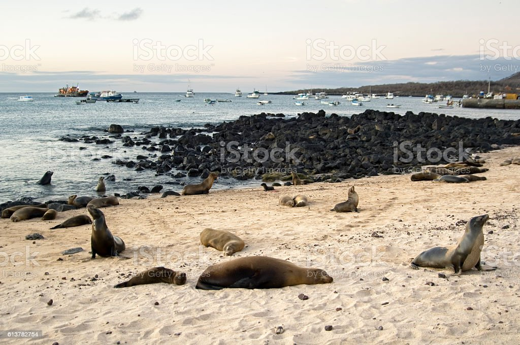 Sea lions sleeping at harbour beach, Galapagos Islands stock photo