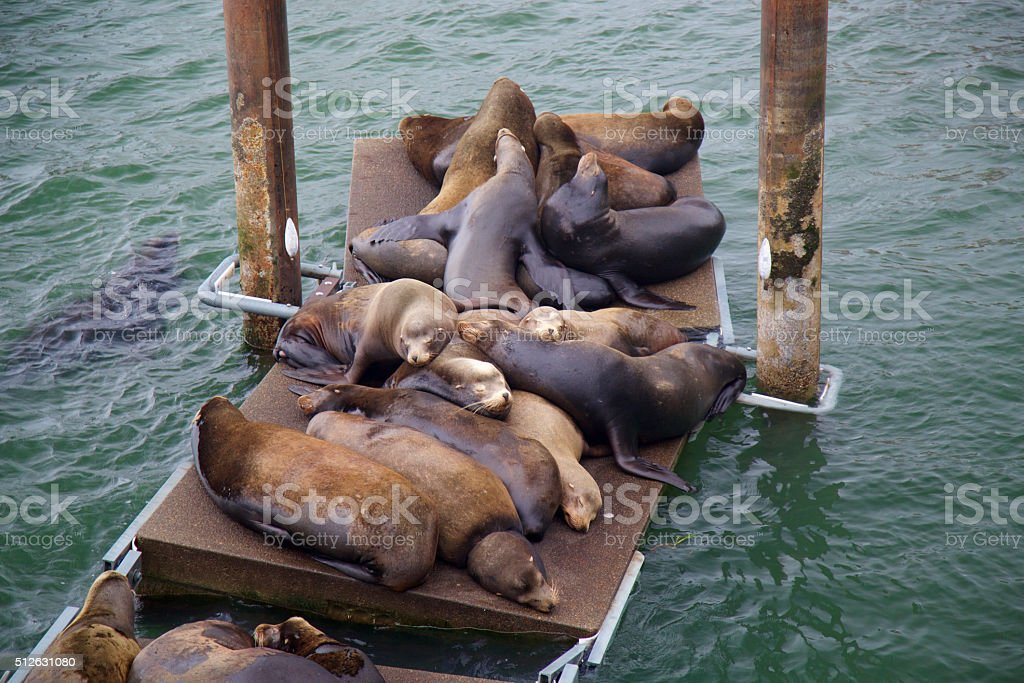 Sea Lions sleeping on the dock stock photo