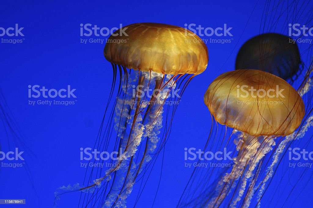 sea nettle, Chrysaora fuscescens royalty-free stock photo