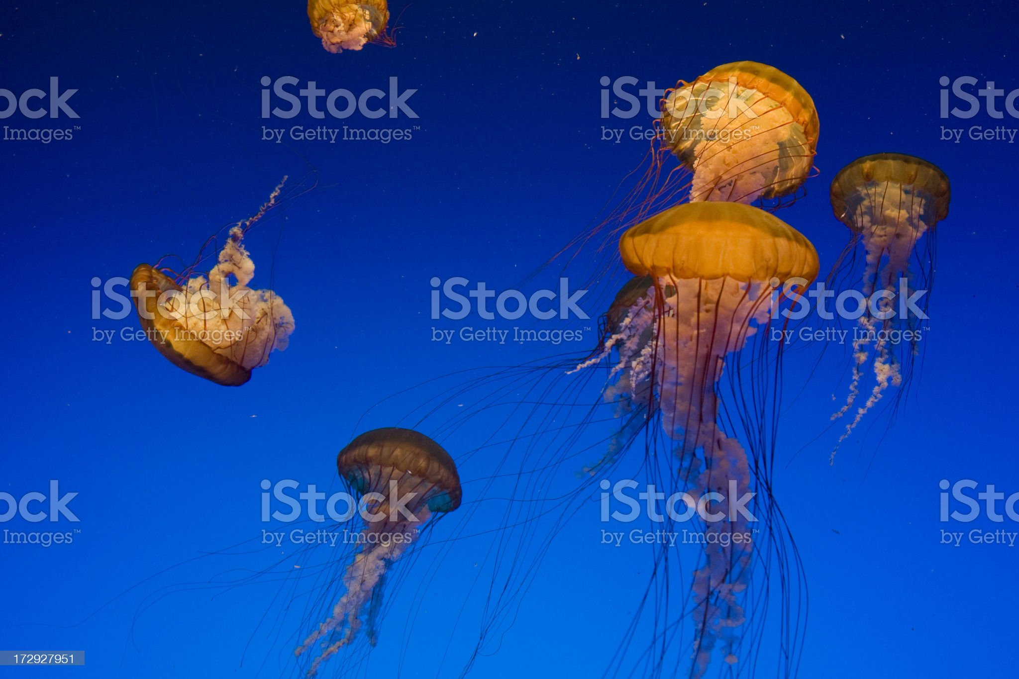 Sea Nettle in blue royalty-free stock photo