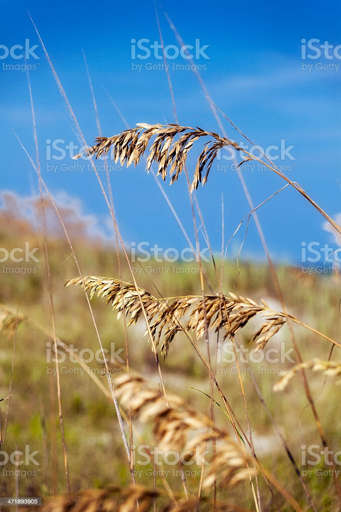 Sea Oat Grass Closeup with Blue Sky Background stock photo