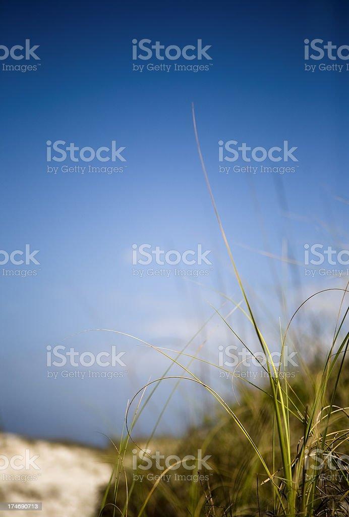 Sea Oat Grass royalty-free stock photo