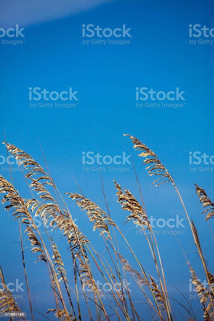 Sea Oat Grass with Blue Sky Background royalty-free stock photo