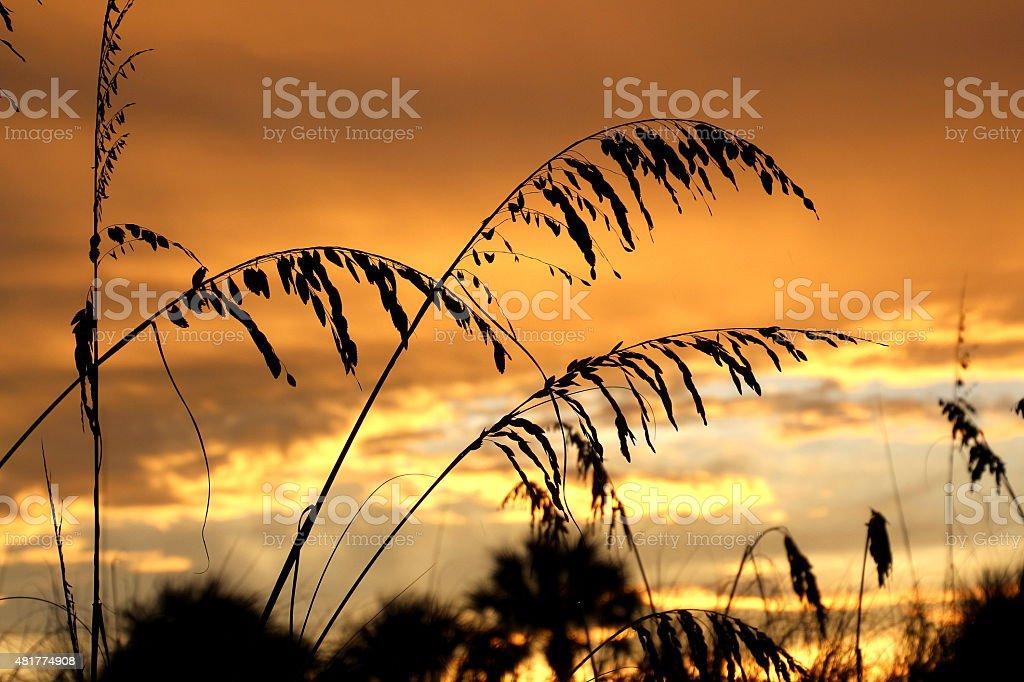 sea oats at sunset stock photo