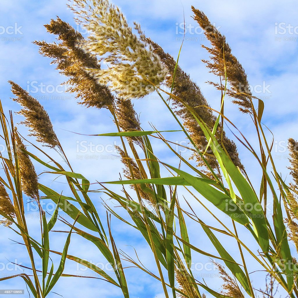 Sea Oats Blowing in the Wind along the Chesapeake Bay stock photo