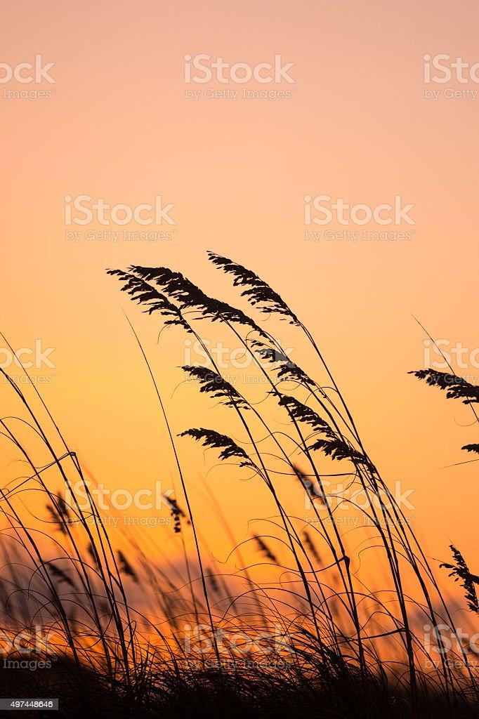 Sea oats grass at sunset stock photo