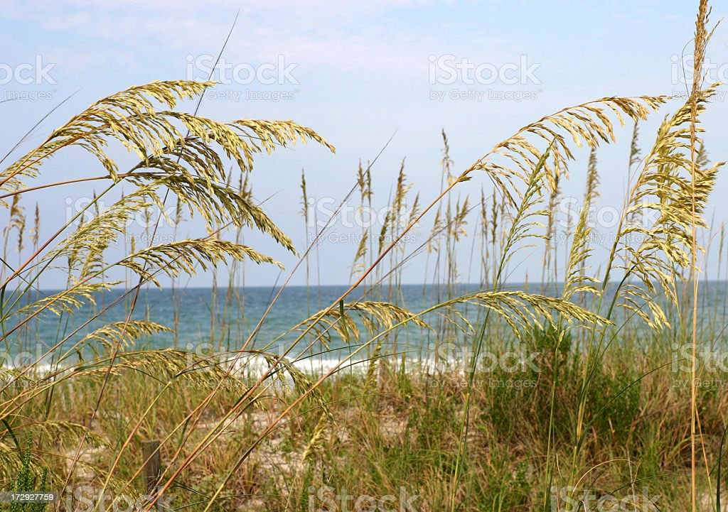 Sea Oats In The Dunes On A Florida Beach stock photo
