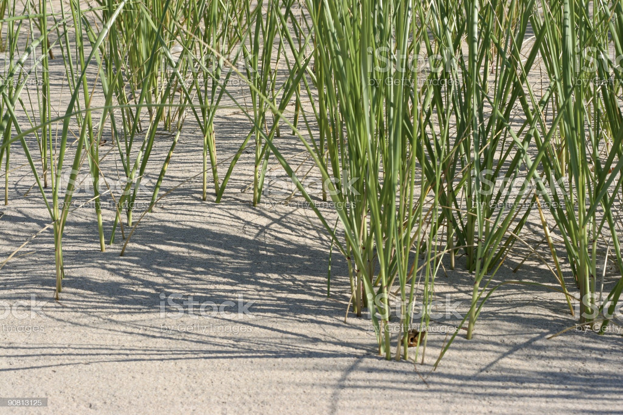 Sea oats in the sand on sunny beach royalty-free stock photo