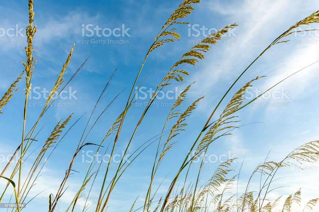 Sea Oats in the Sky royalty-free stock photo