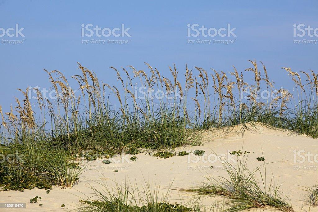 Sea Oats on a Dune stock photo