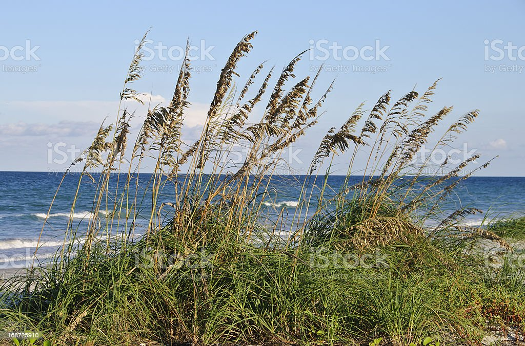 Sea oats on the shoreline stock photo