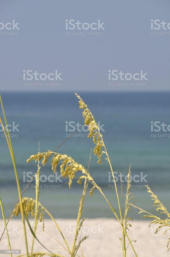Sea Oats royalty-free stock photo