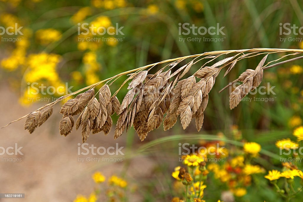 Sea Oats stock photo