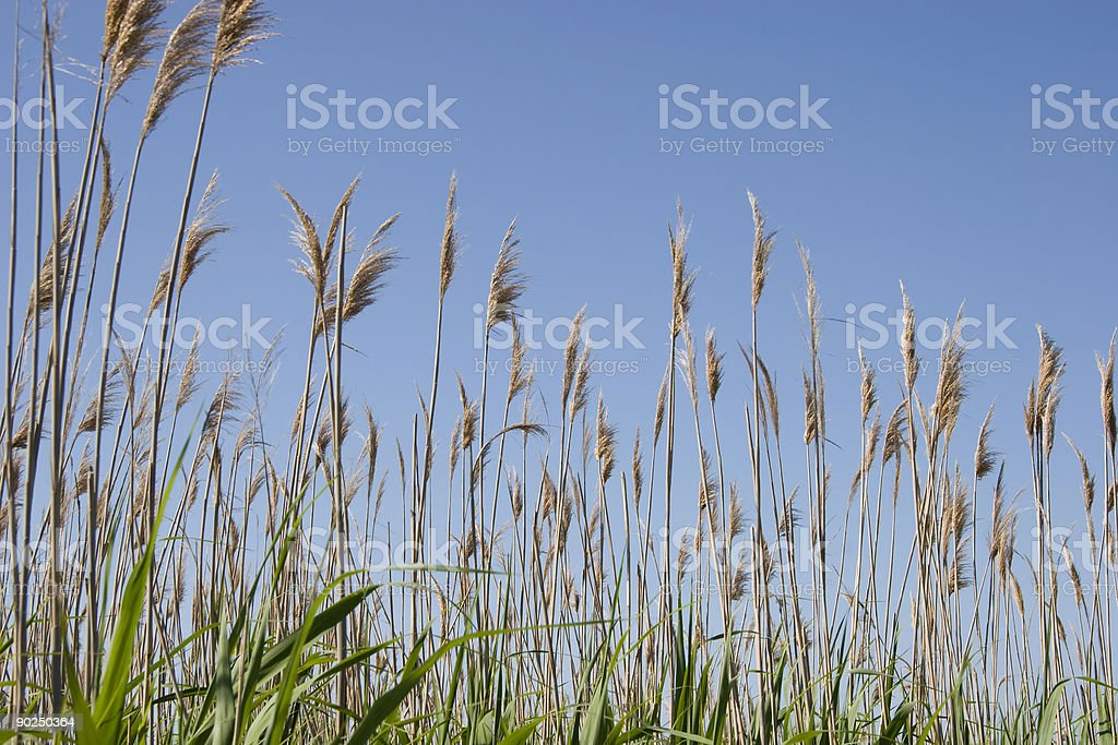 Sea Oats royalty-free stock photo