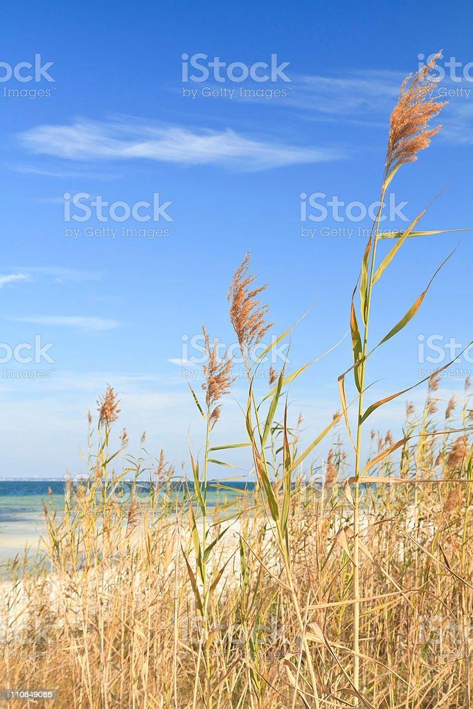 Sea Oats Tall stock photo
