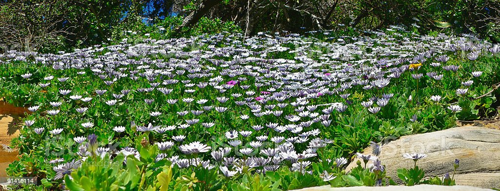 Sea of bright coloured daisies with green ground cover stock photo