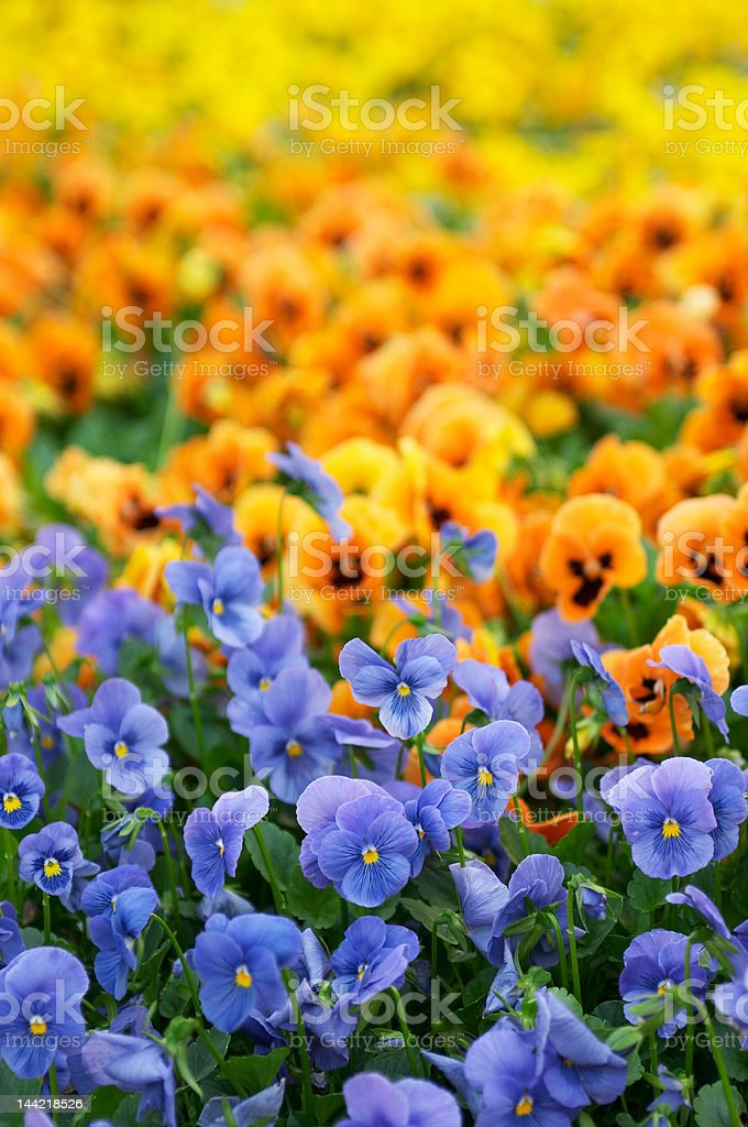 Sea of color royalty-free stock photo