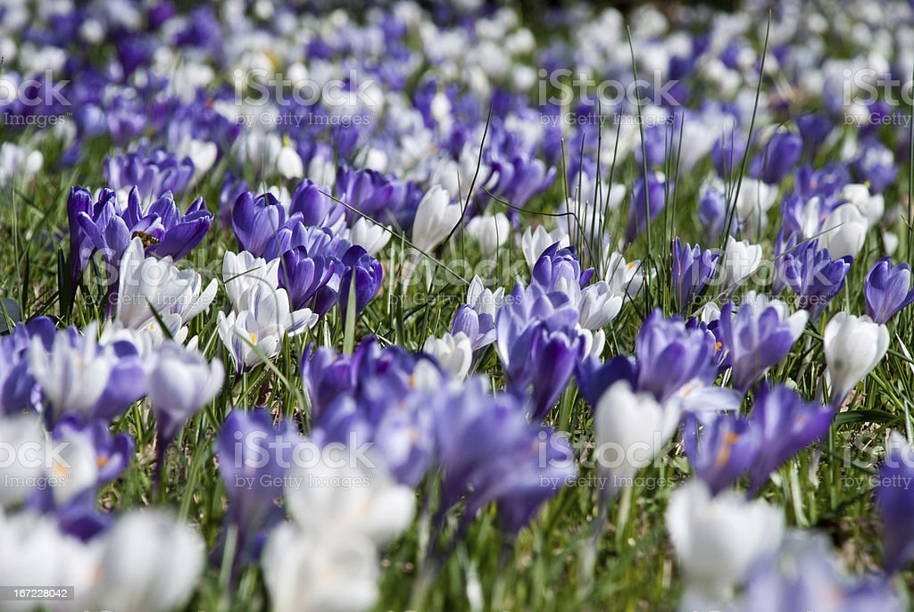 Sea of crocuses in the spring sun royalty-free stock photo