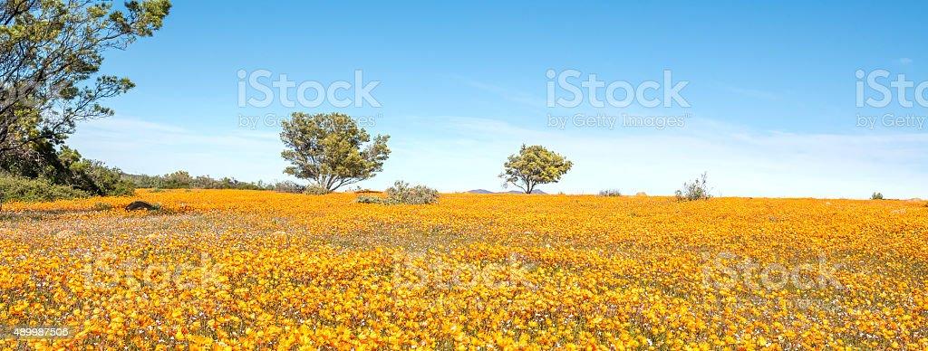 Sea of orange daisies at Skilpad stock photo