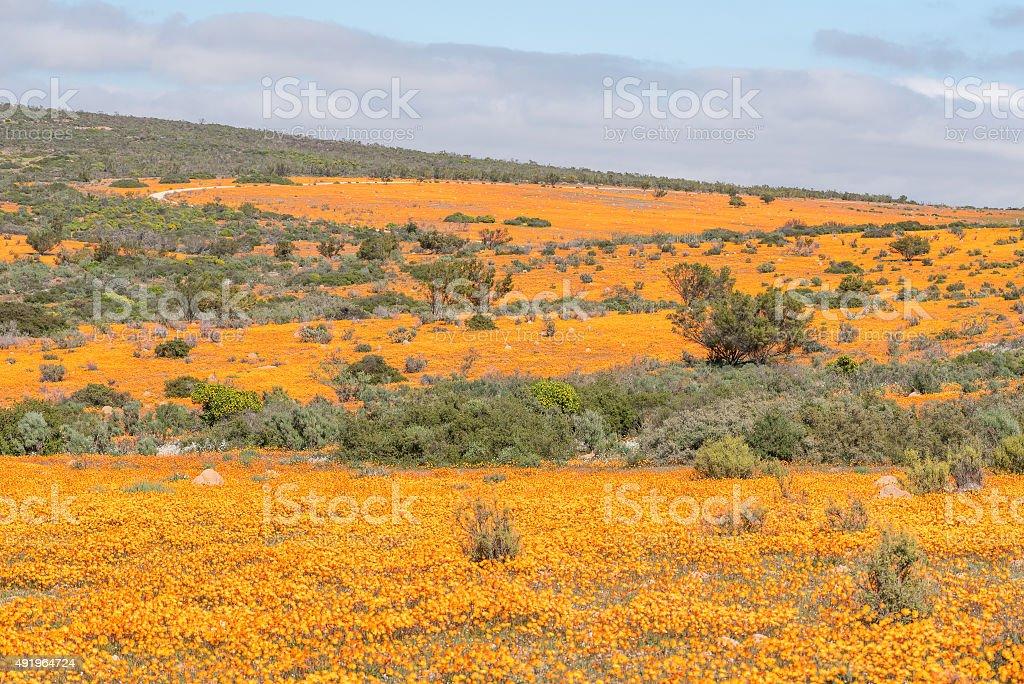 Sea of orange daisies stock photo