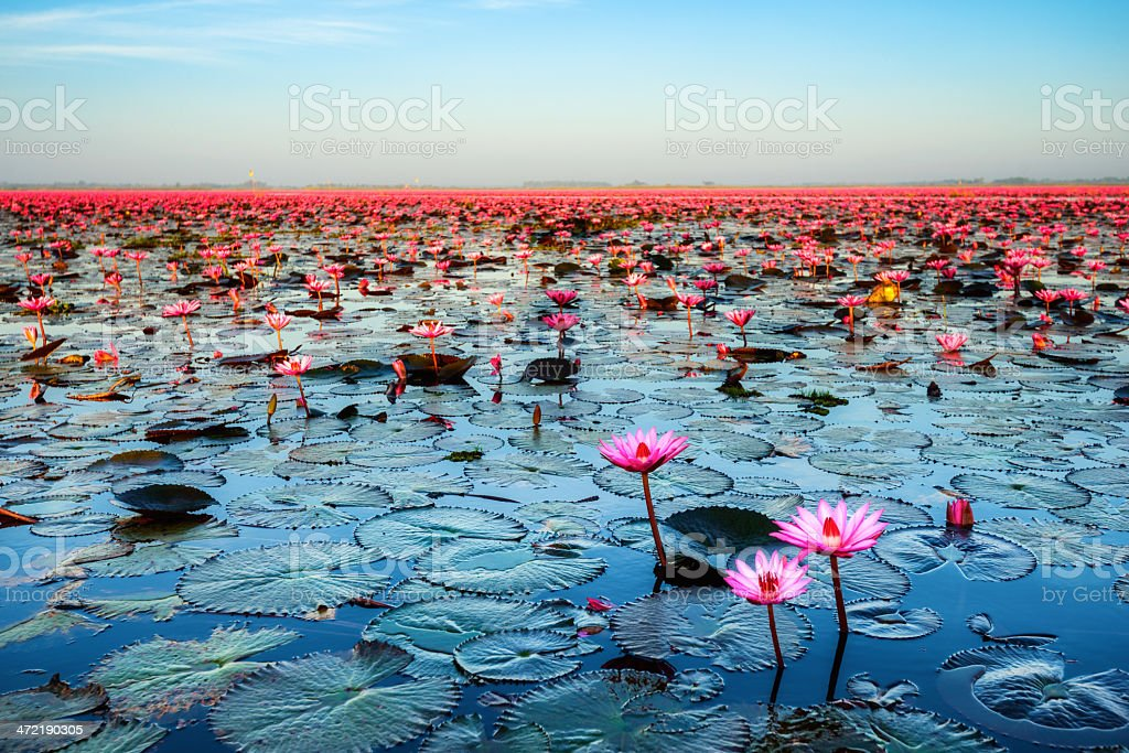 Sea of pink lotus (unseen in Thailand) stock photo
