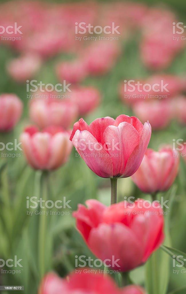 Sea of Pink Tulips stock photo