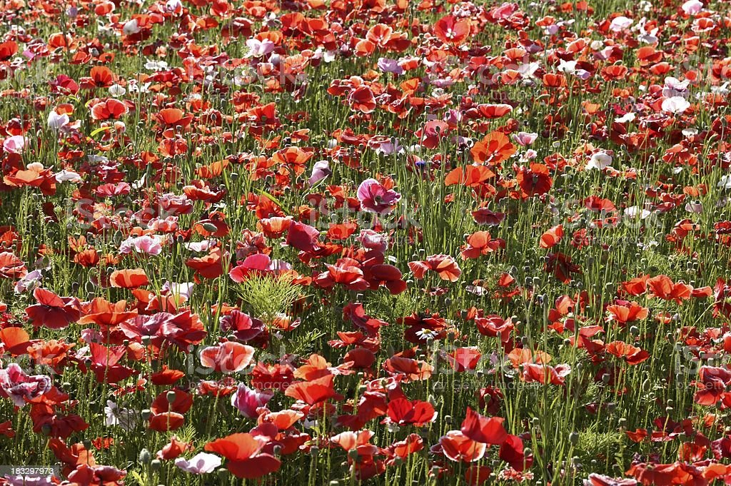 Sea of Poppies royalty-free stock photo