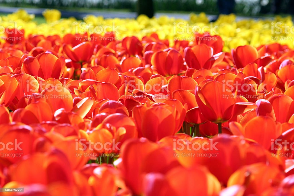 sea of red and blue tulips royalty-free stock photo