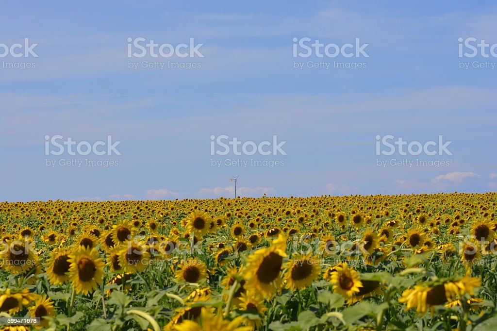Sea of Sunflowers stock photo