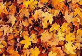 Sea of yellow and orange autumn leaves