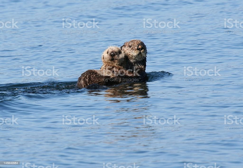 Sea otter and baby lounging in the blue Alaska waters stock photo