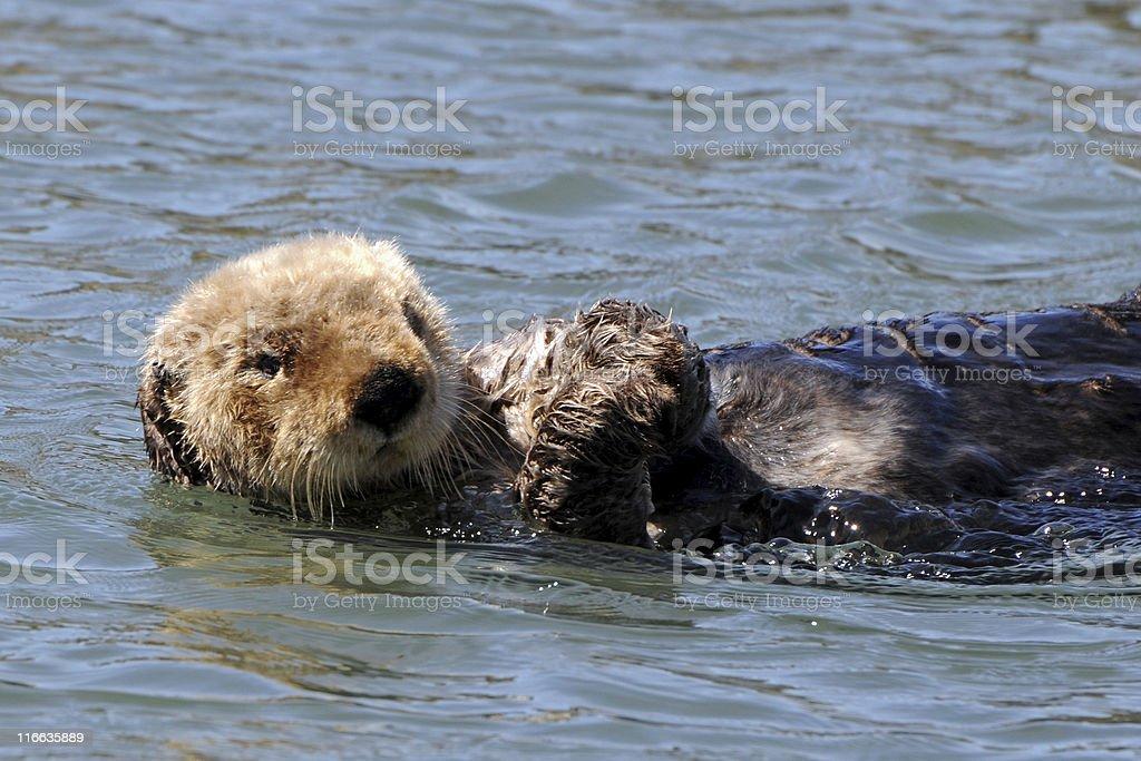 sea otter, Enhydra lutris royalty-free stock photo