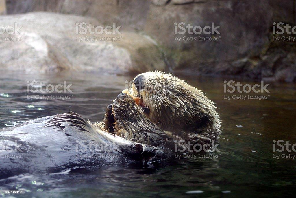 Sea Otter Feeding royalty-free stock photo