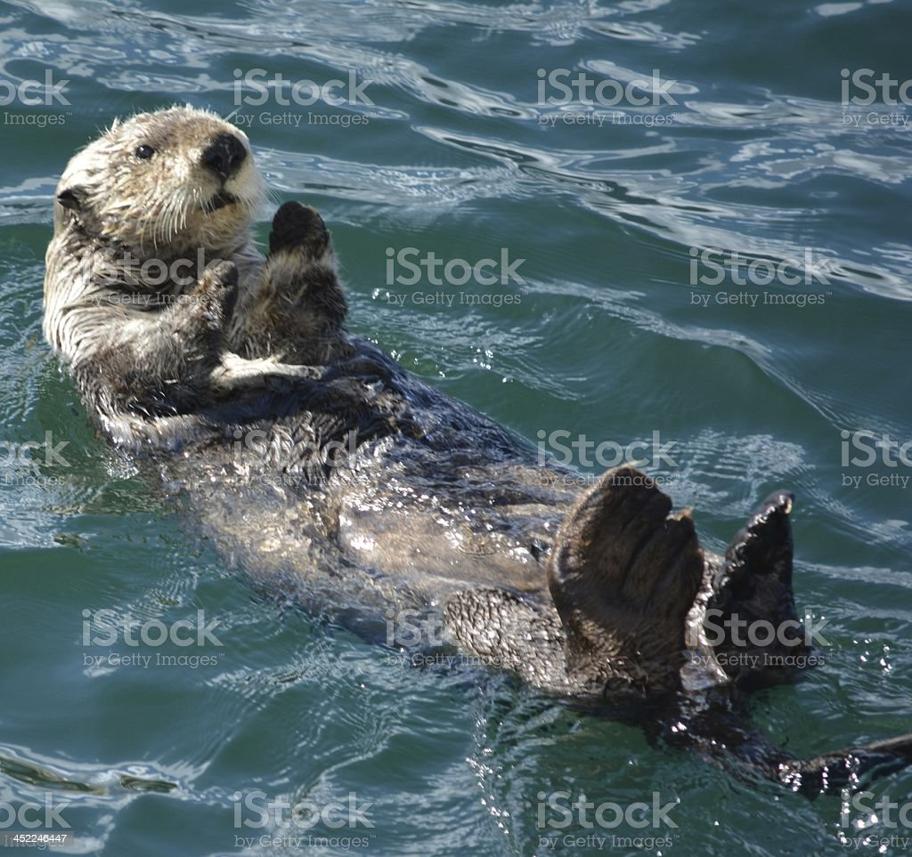 A sea otter floating in the sea with its baby on top stock photo