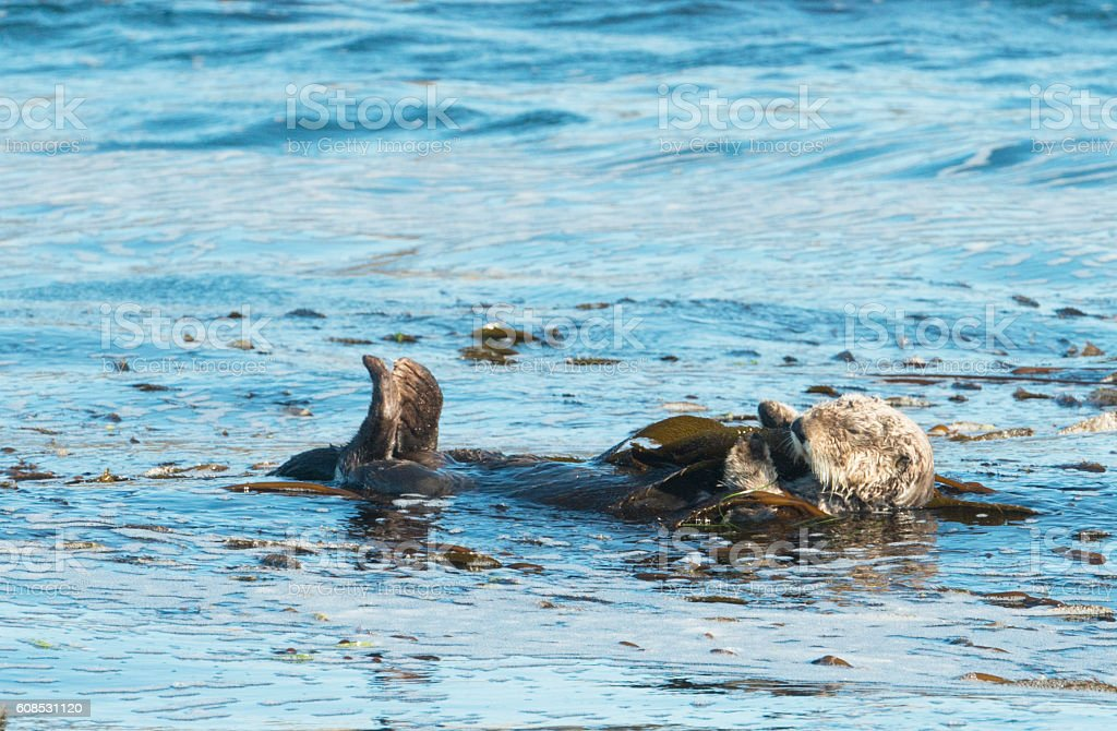 Sea Otter in Pacific Ocean National Park Vancouver Island Canada stock photo