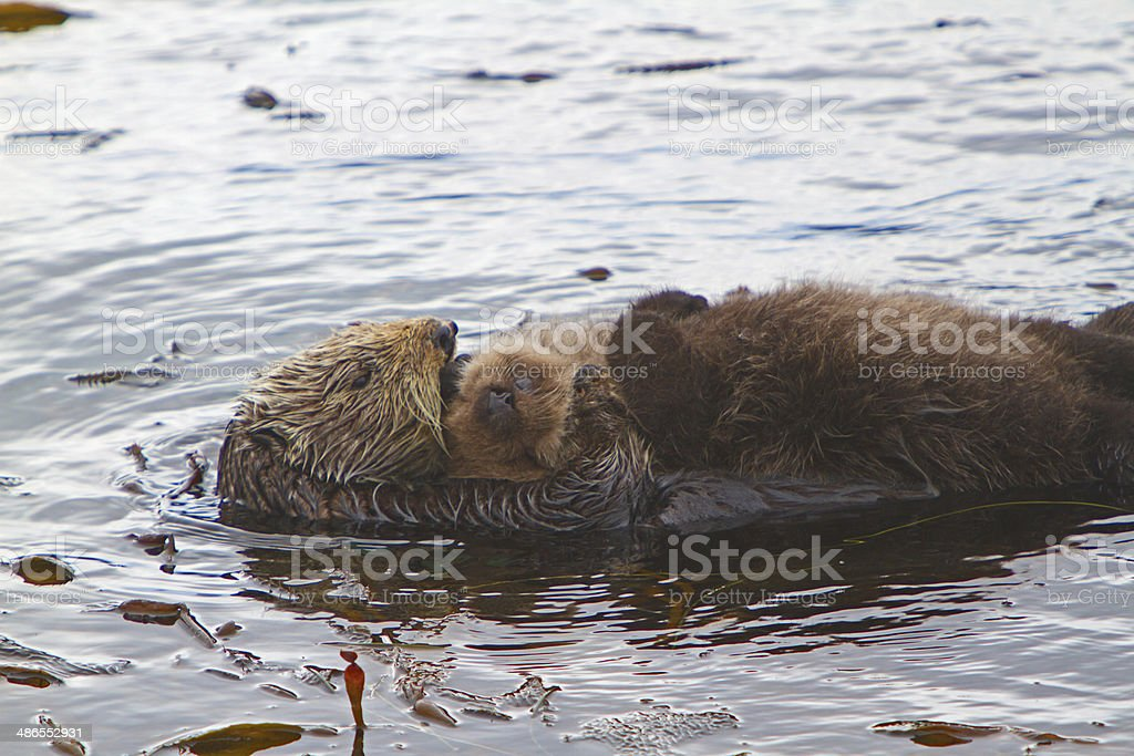 Sea Otter mother stock photo