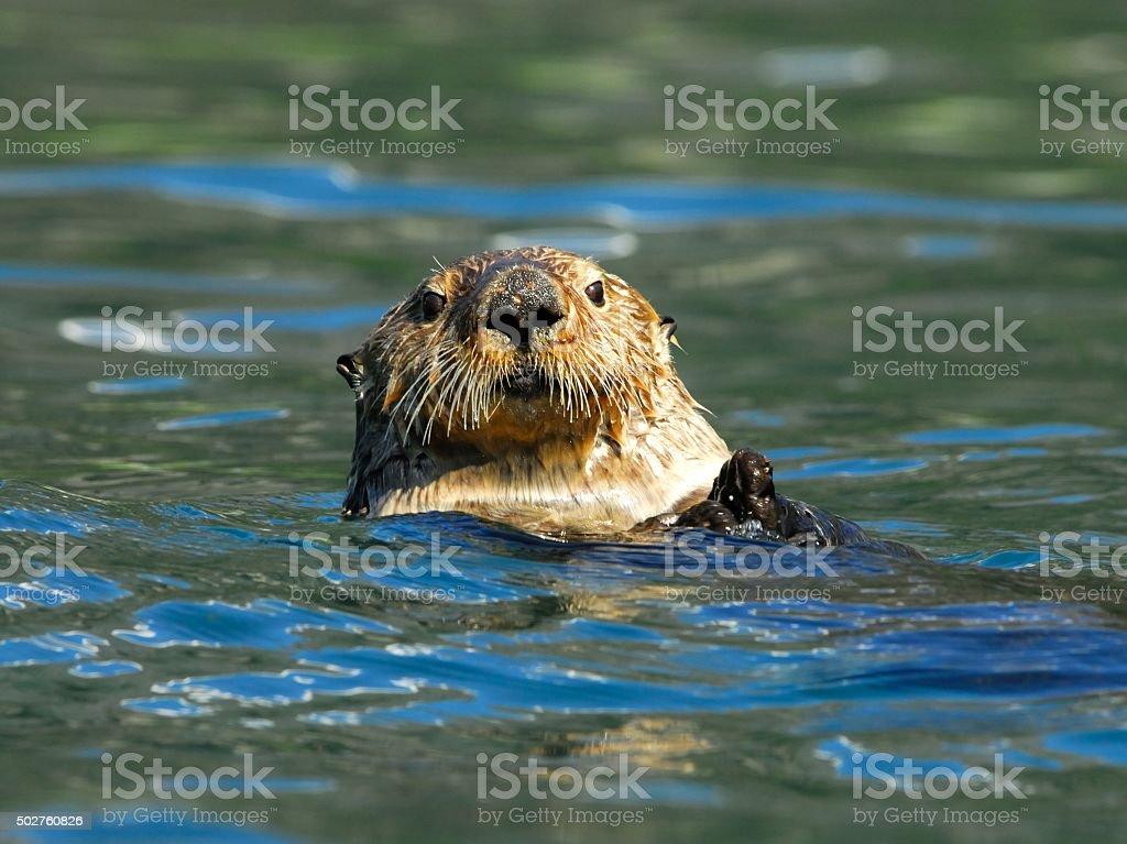 Sea Otter stock photo