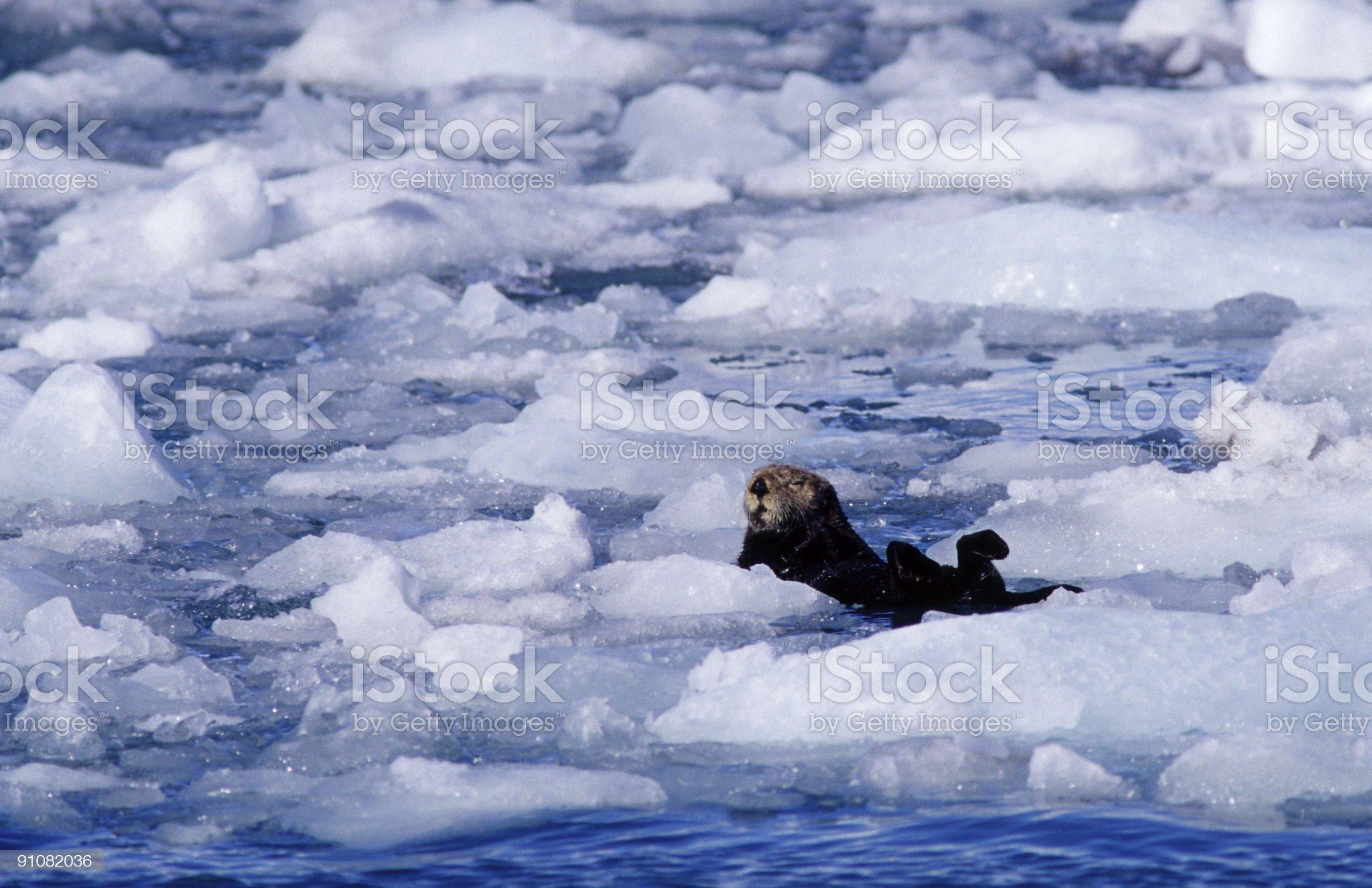 Sea otter royalty-free stock photo