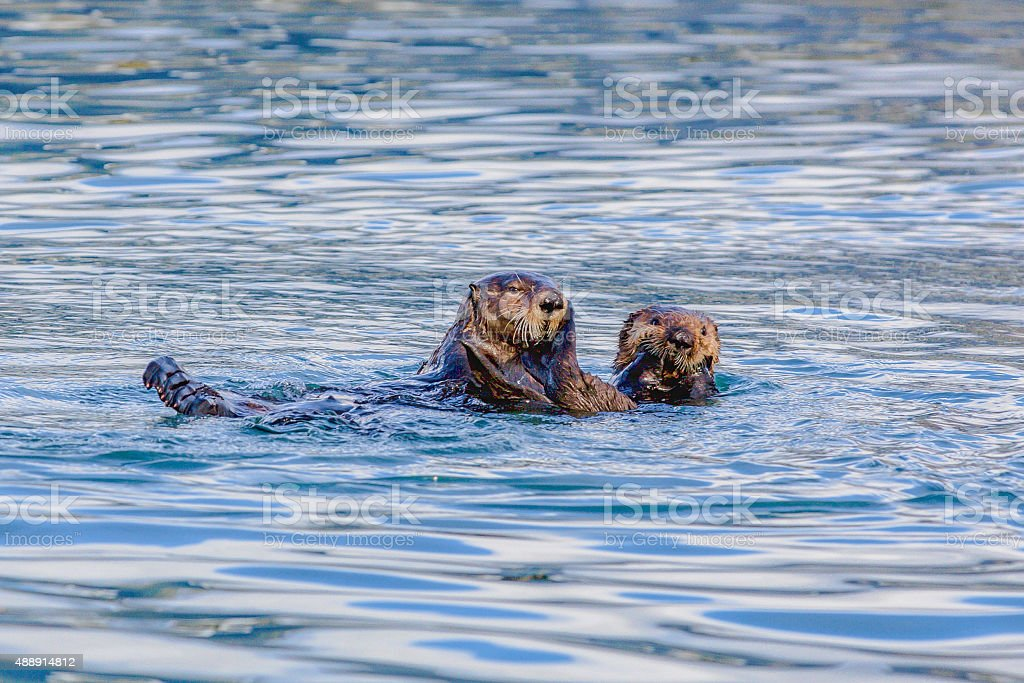 Sea otter pup and mother stock photo
