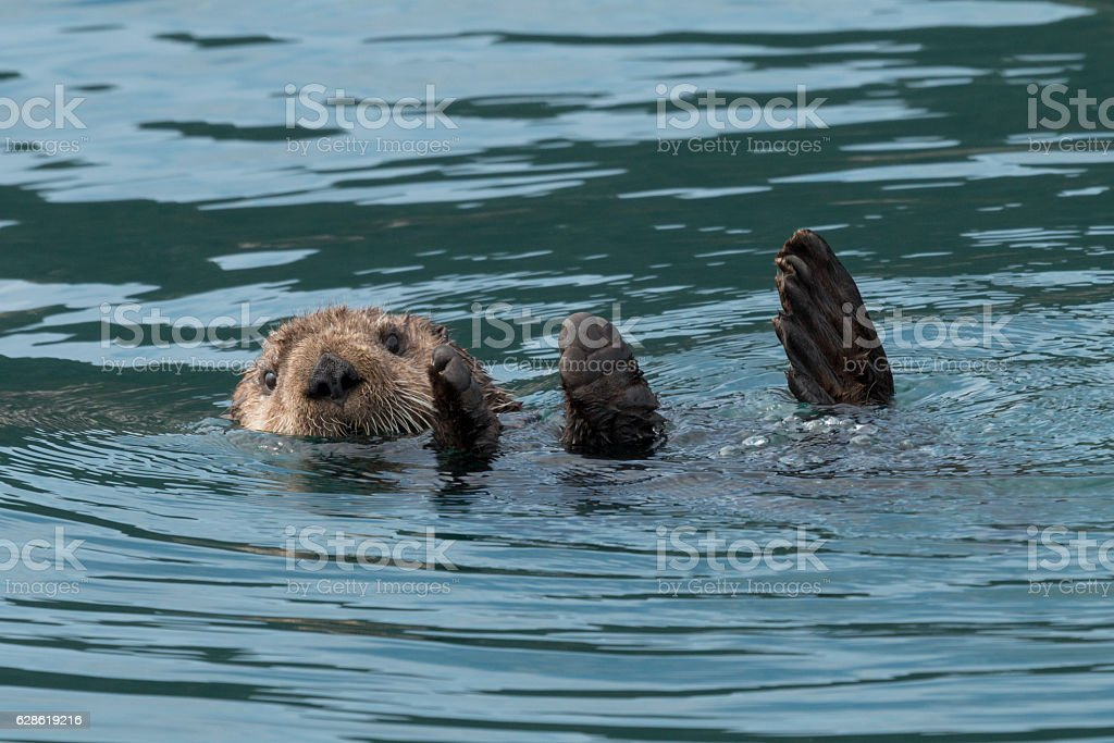 Sea otter sinking out of sight. stock photo