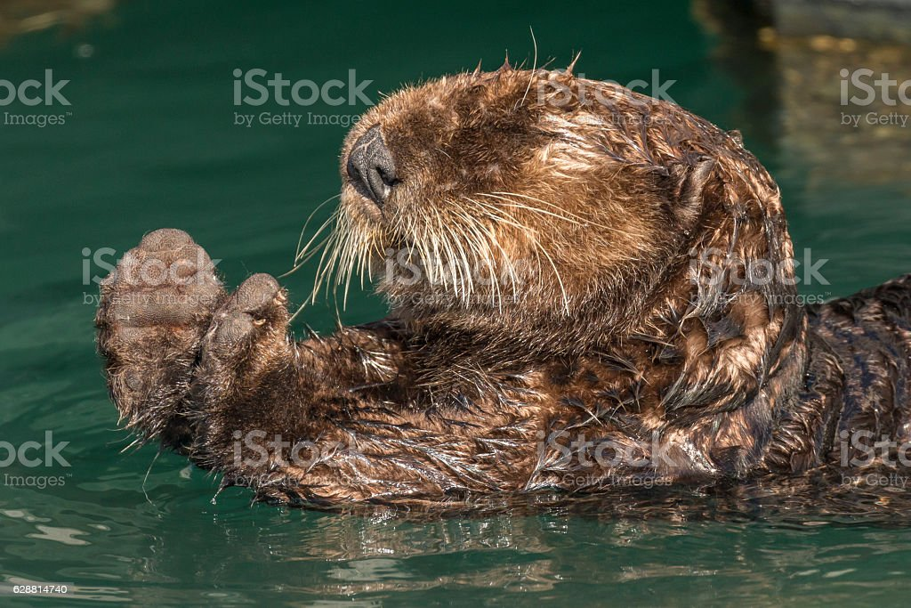 Sea otter stretching after a rest in Seward harbor, Alaska. stock photo