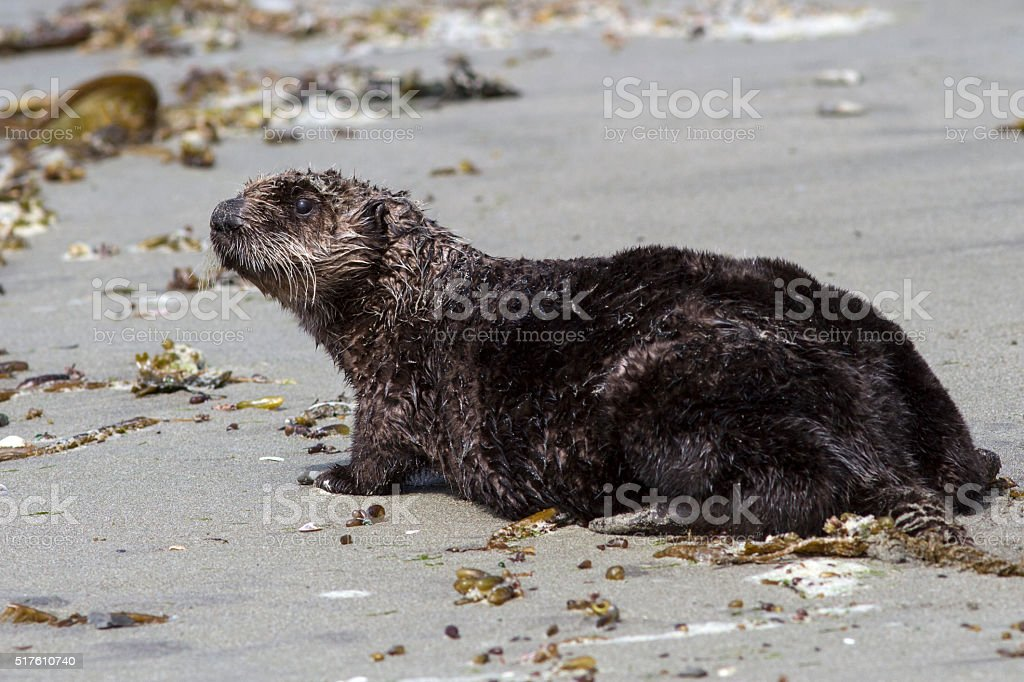 sea otter who stands on the sandy shore stock photo