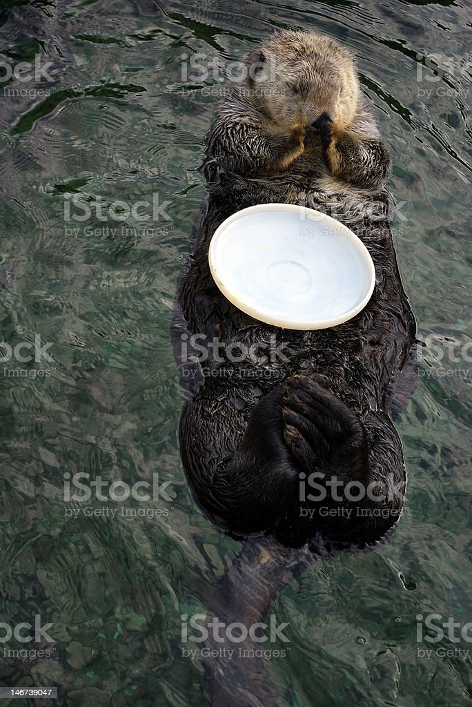 Sea otter with plastic plate royalty-free stock photo