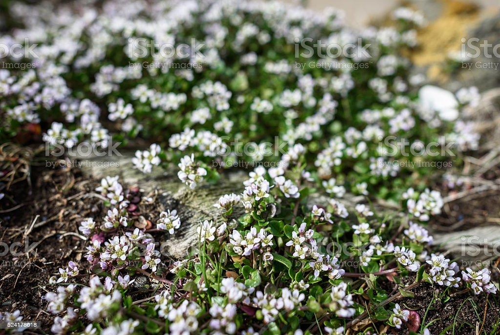 Sea Sandwort stock photo